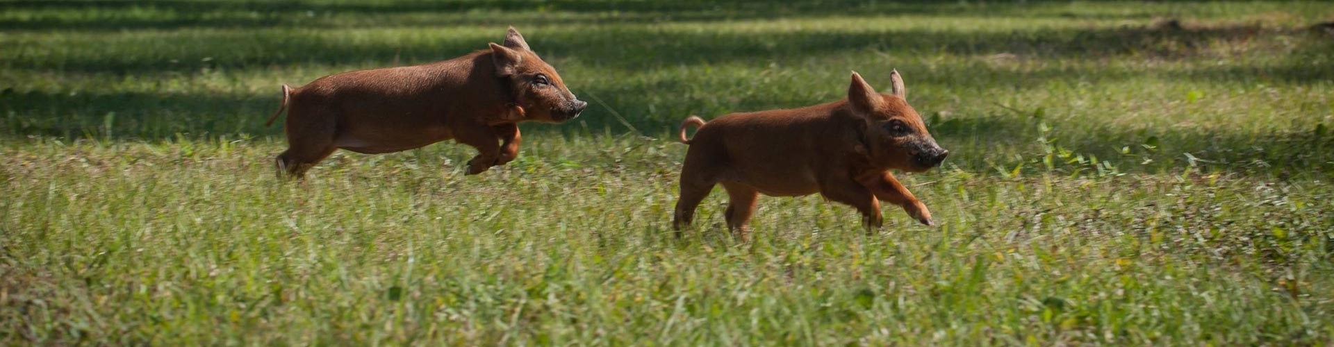 Red wattle piglets running
