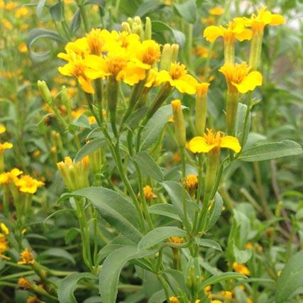 Farm Focus: Mexican Mint Marigold