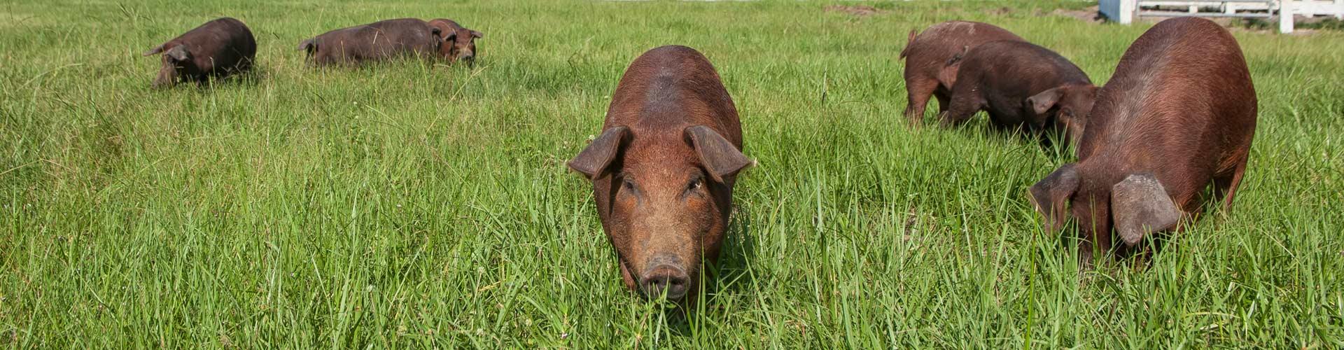 Pastured Red Wattle pig